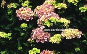 Hydrangea macrophylla 'Marquise'