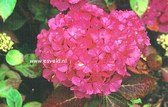 Hydrangea macrophylla 'Souvenir de President Doumer'