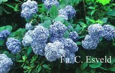 Hydrangea macrophylla 'Generale Vicomtesse de Vibraye'