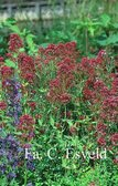 Centranthus