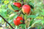 Malus domestica 'Gloster'
