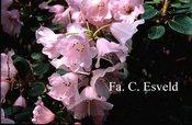 Rhododendron selense jucundum