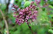 Syringa chinensis 'De Oirsprong'