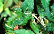 Acer palmatum 'Kingsville Variegated'