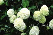 Viburnum opulus 'Roseum'