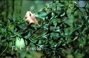 Colletia
