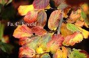 Parrotia persica 'Het Plantsoen'