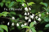 Halesia carolina