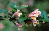 Abelia