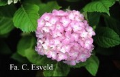 Hydrangea macrophylla 'St. Mont Jean'