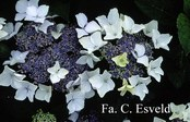 Hydrangea macrophylla 'Stourton Lace'