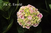 Hydrangea macrophylla 'Sensation 75' (syn. 'Harlequin')
