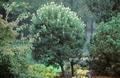 Ligustrum japonicum 'Korean Dwarf'