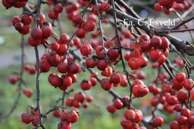 Malus