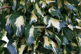 Hedera helix 'Goldheart'