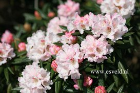 Rhododendron 'Streatley'