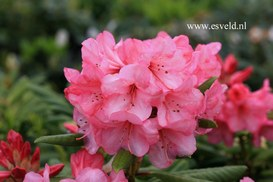 Rhododendron 'Dandy'