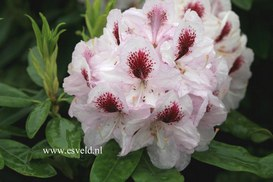 Rhododendron 'Souvenir de Dominique Vervaene'