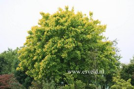 Acer cappadocicum 'Aureum'
