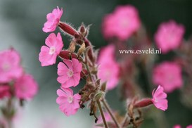 Silene rupestris 'Rollies Favorite'