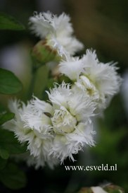 Dianthus 'Mrs. Sinkins'