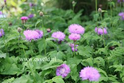 Centaurea hypoleuca 'John Coutts'