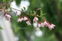 Styrax japonicus 'Pink Chimes'