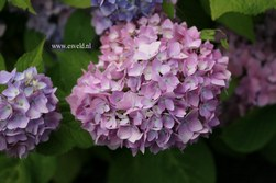 Hydrangea macrophylla 'Shin ozaki'