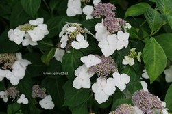 Hydrangea macrophylla 'Mariesii Grandiflora'