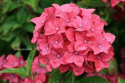Hydrangea macrophylla 'Vorster Fr&uuml;hrot'