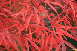 Acer palmatum 'Hupp's Red Willow'