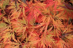 Acer palmatum 'Irish Lace'