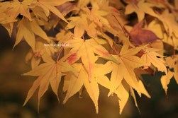 Acer palmatum 'Golden Pond'