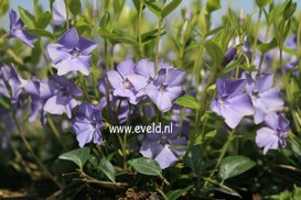 Vinca