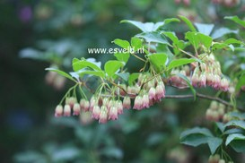 Enkianthus campanulatus