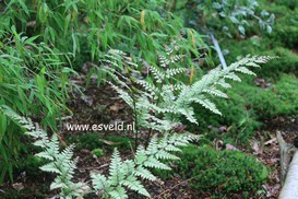 Athyrium
