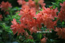 Azalea 'Koster's Brilliant Red'