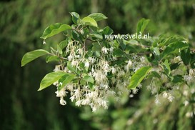 Pterostyrax corymbosa