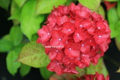 Hydrangea macrophylla 'Matisse'