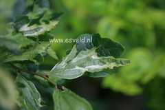 Parrotia persica 'Persian Lace'