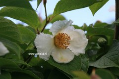 Stewartia pseudocamellia