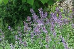 Nepeta grandiflora 'Wild Cat'