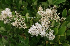 Ligustrum japonicum 'Texanum'