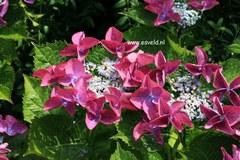 Hydrangea macrophylla 'Zeisig'