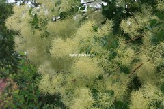Cotinus coggygria 'Kanari'