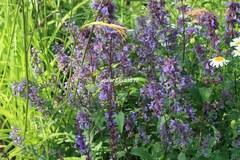 Nepeta grandiflora 'Bramdean'