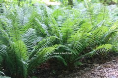 Dryopteris affinis