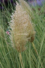 Cortaderia selloana 'Golden Goblin'