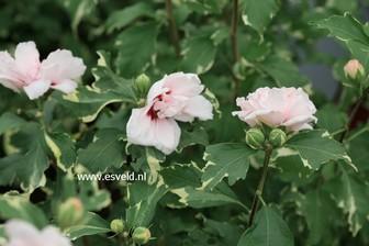 Hibiscus syriacus 'America Irene Scott' (SUGAR TIP)
