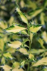 ilex aquifolium 39 northern lights 39 geel gevlekte vrouwelijke hulst